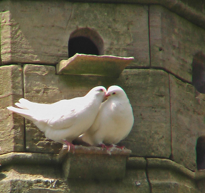 friends   doves