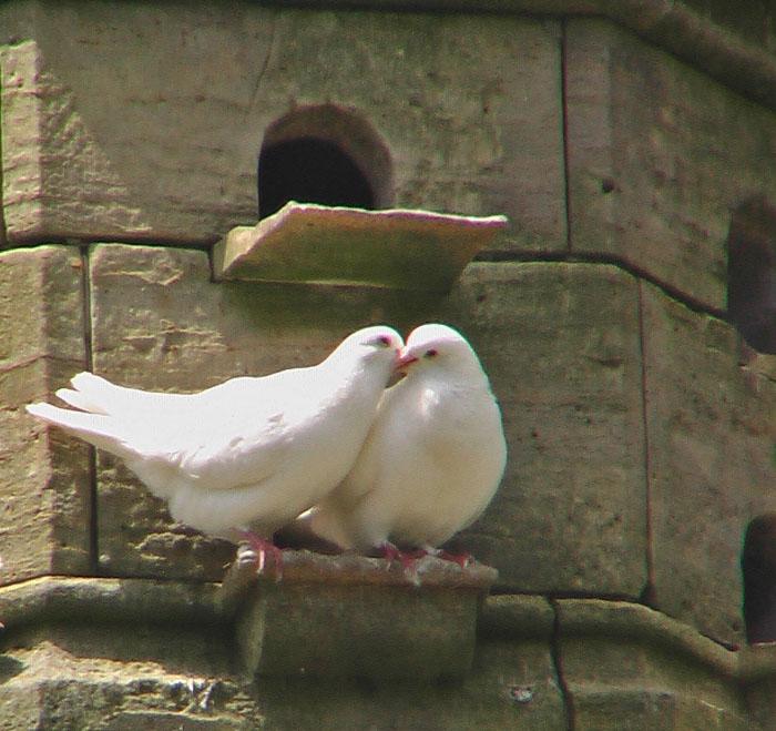 friends   doves